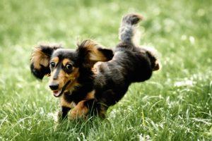 собака кроличья такса