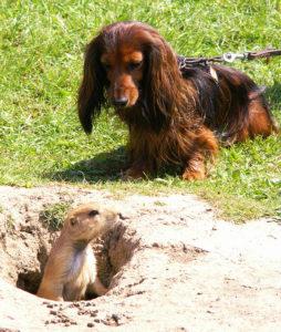 кроличья такса на охоте