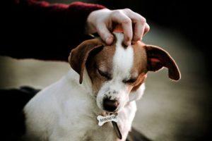 риск заражения гельминтами от собаки