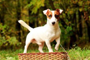 джек-рассел-терьер порода собаки