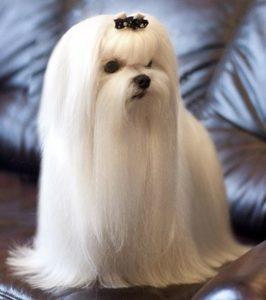 порода собак мальтийская болонка