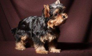 йоркширский терьер собака