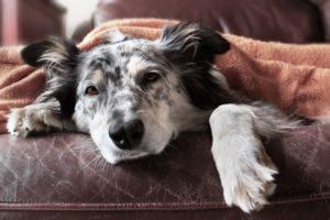 собака болеет под одеялом
