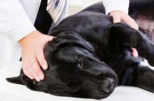 стафилококк у собак профилактика