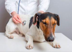 стафилококк у собак и его лечение