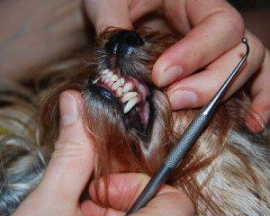 уход за зубами йоркширского мини терьера