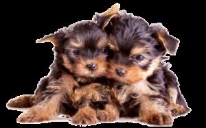 два щенка йорка