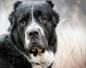 характеристика собаки алабай