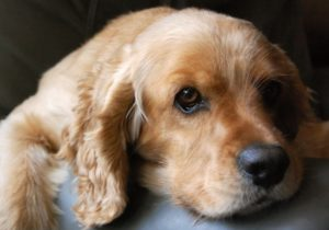 характеристика собаки спаниель