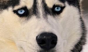хаски с голубыми глазами и черным носом