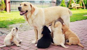 корм для беременных собак