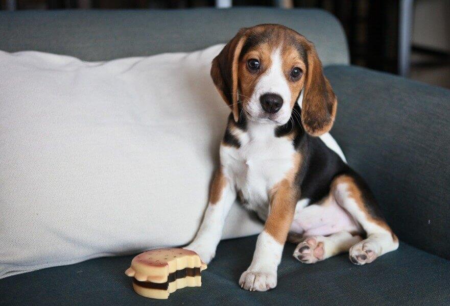 Лучшие породы средних собак для квартиры