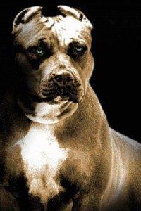 известные бойцовские собаки