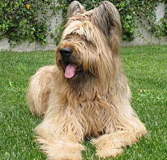 собаки породы бриар