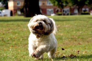 проэструс у собак