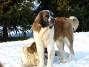 популярность сторожевых собак