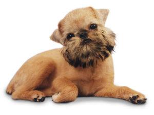 грифон собачья порода