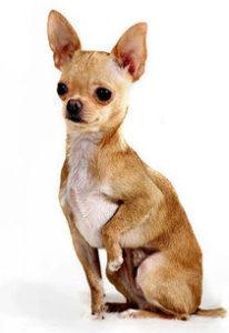 чихуахуа собака
