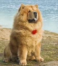 чау-чау породы собак