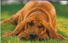 собачья ложная беременность