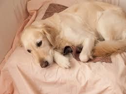 определение беременности у собаки