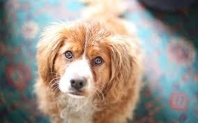 определение беременности собаки