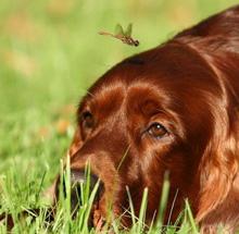 порода собак сеттер