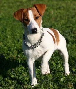 джек-рассел-терьер пес