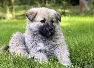 кавказская собака щенок