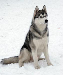 сколько стоят снежные собаки