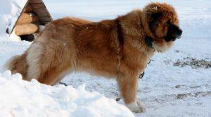 популярные сторожевые породы собак