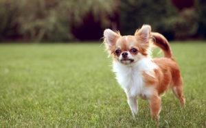 клички на букву п для маленьких собак