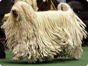 овчарка комондор