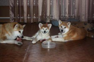 собака акита кормление
