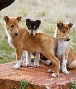 короткошерстные колли щенки
