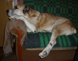 кожный стафилококк у собак
