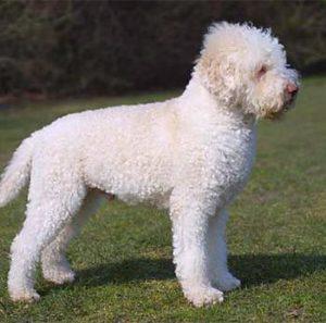 собаки породы лаготтороманьоло