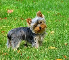 йоркширский терьер порода собак