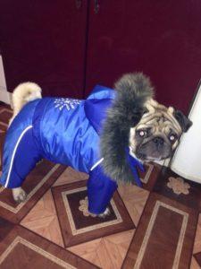 штанишки и куртка для мопса