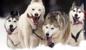 собаки хаски в упряжке