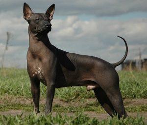 мексиканская собака