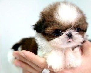 шицу щенок на руках