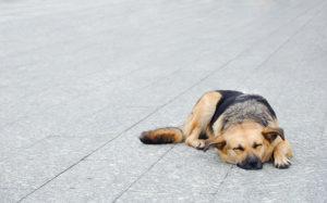 нервная чумка у собак