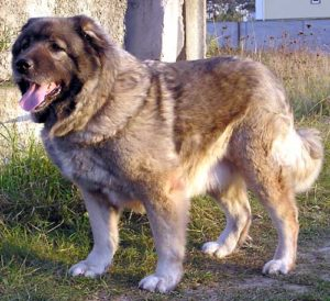 порода кавказская овчарка