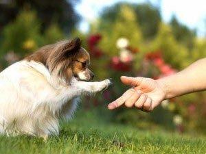 разновидность собак папильон