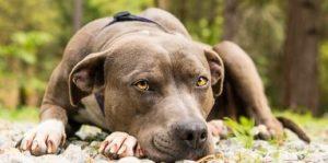 питбуль порода собак