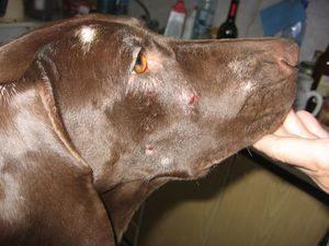 что делать при укусе клеща собаки