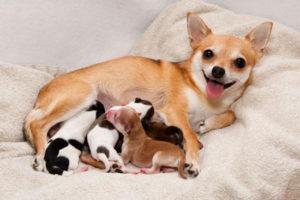 собачья беременность