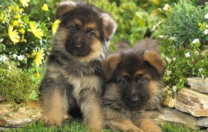 выбор щенка немецкой овчарки