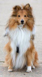 собаки породы шелти